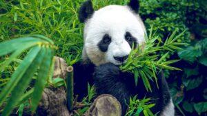 China: Giant panda off endangered list
